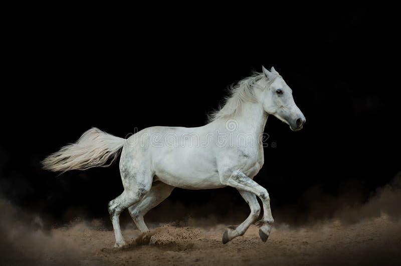 Белая лошадь в пыли стоковое фото rf