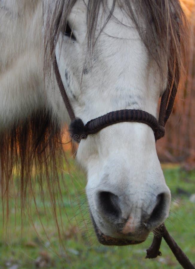 Белая лошадь в equine портрете стоковое изображение