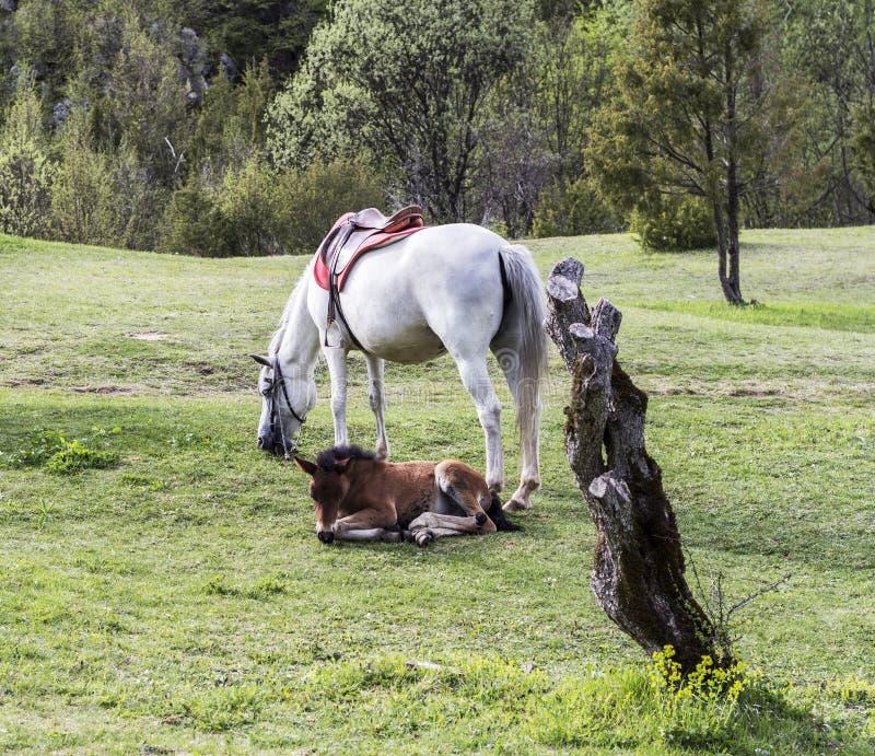 Белая лошадь и коричневый осленок лежа на зеленом луге стоковые изображения rf