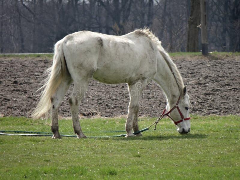 Белая лошадь пася на зеленой траве стоковое фото rf