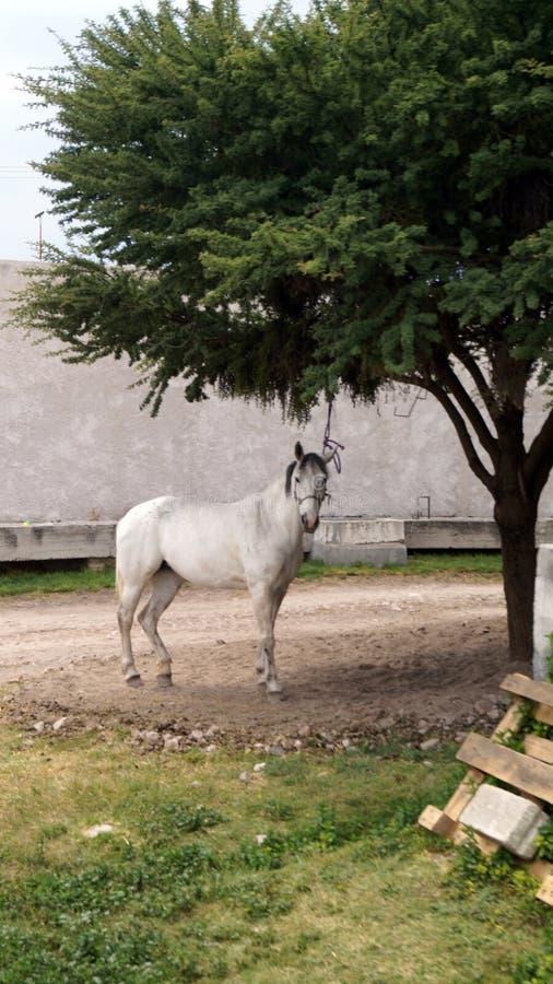 Белая лошадь связанная к дереву стоковые изображения rf