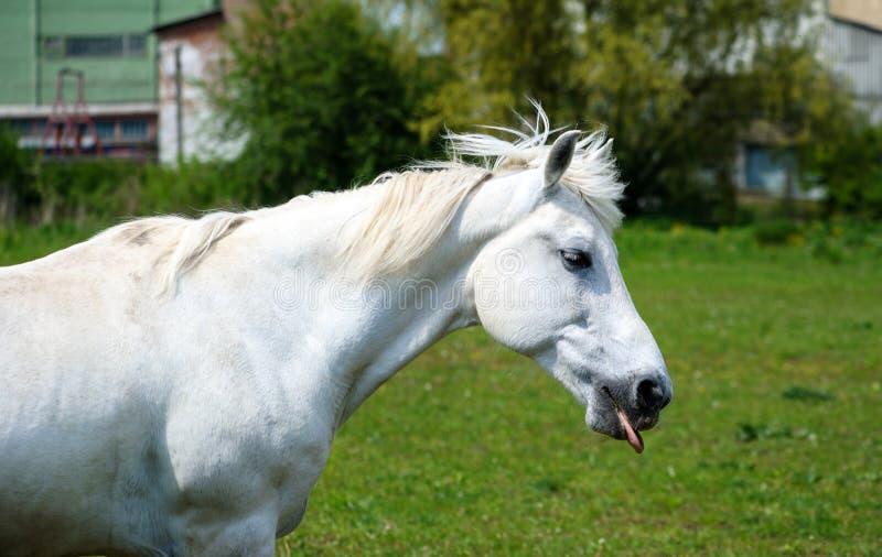 Белая лошадь с длинной гривой на выгоне против красивого голубого неба стоковая фотография