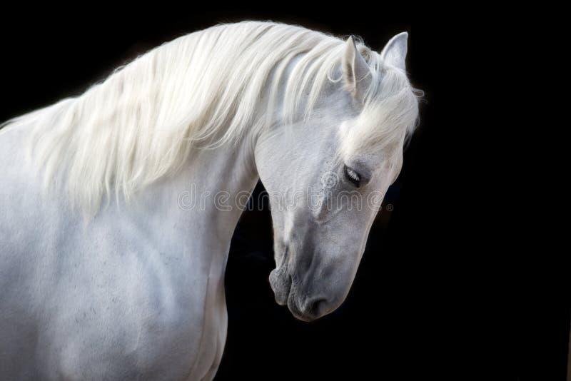 Белая лошадь с длинной гривой на черноте стоковая фотография