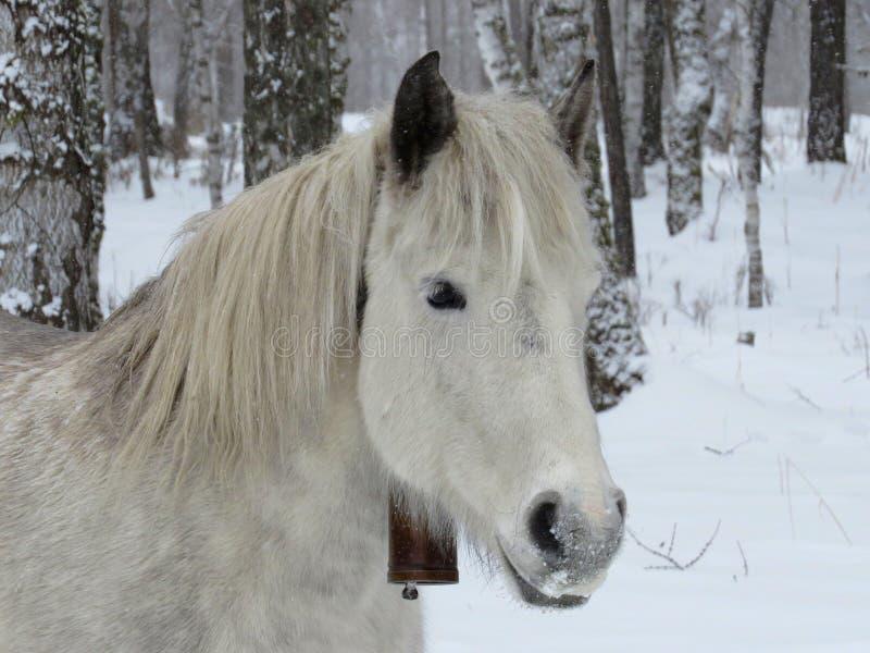 Белая лошадь с колоколом стоковые изображения