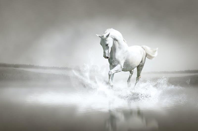 Белая лошадь через воду стоковое фото rf