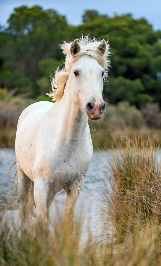 Белая лошадь Camargue скакать через воду и тросточку стоковые изображения rf