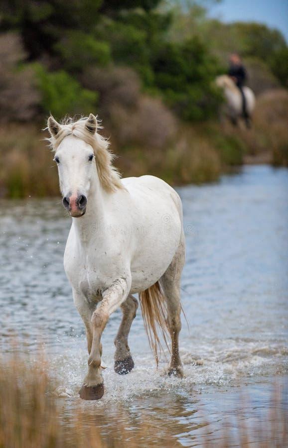 Белая лошадь Camargue скакать через воду и тросточку стоковые изображения