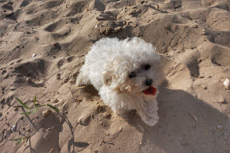 Белая маленькая крытая собака сидя на песке стоковые фото