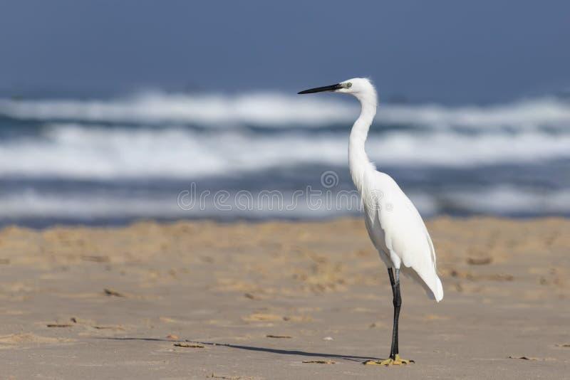Белая маленькая птица цапли стоит на песке на пляже стоковые изображения