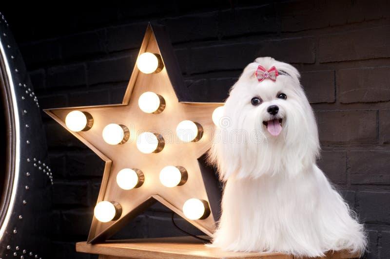 Белая маленькая собака мальтийсная стоковое фото rf