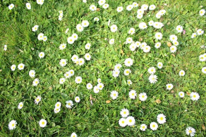 Белая маргаритка Белые цветки стоцвета стоковые фотографии rf