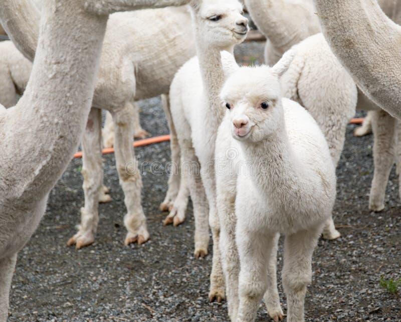 Белая овечка альпаки стоковое фото