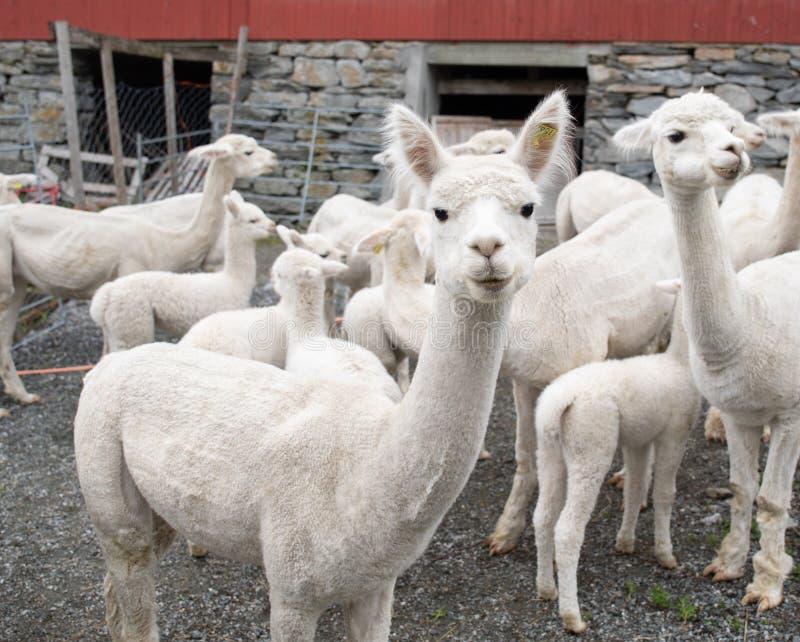 Белая овечка альпаки стоковое фото rf