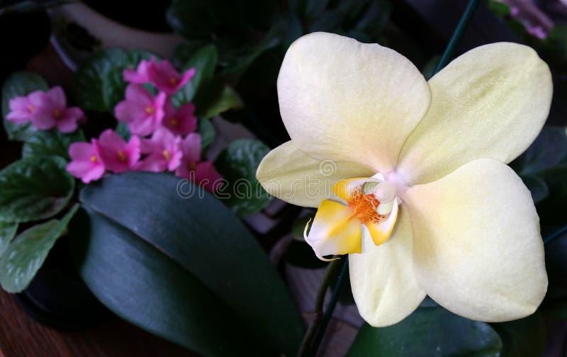 Белая орхидея в вазе стоковая фотография