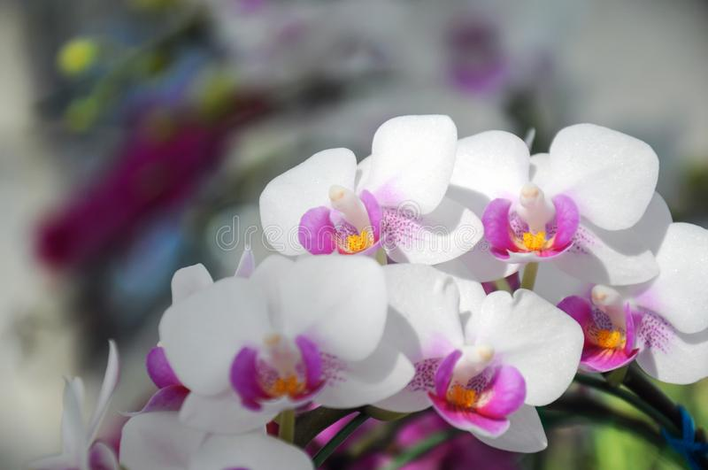 Белая орхидея в цветени на фестивале 2019 цветка Chiangmai, Таиланд стоковые фотографии rf
