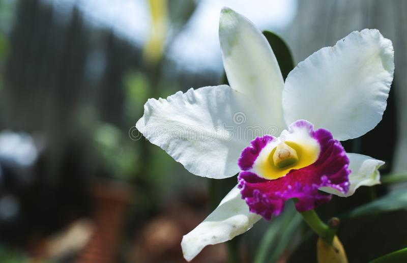 Белая орхидея в цветени стоковые изображения