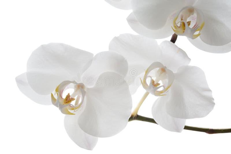 Белый цветок орхидеи на белой предпосылке стоковая фотография