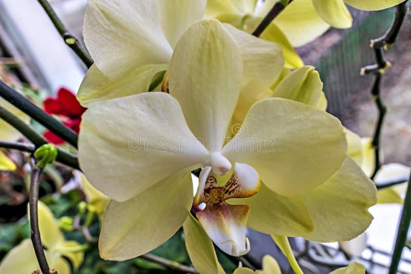 Белая орхидея на окне стоковое фото