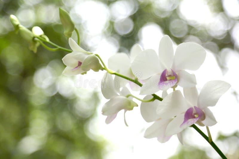 Белая орхидея стоковое изображение rf