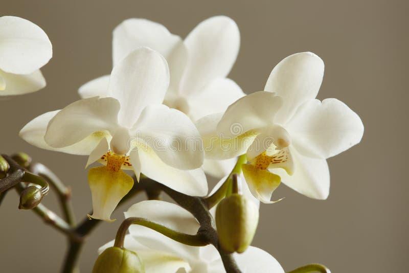 Белая орхидея стоковое изображение