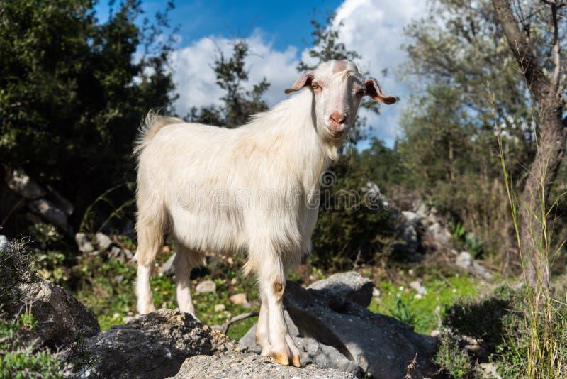 Белая отечественная коза в Турции стоковые фотографии rf