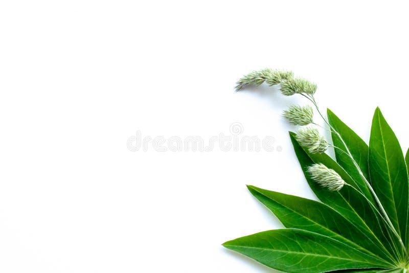 Белая предпосылка с зелеными листьями и травинкой стоковое изображение rf