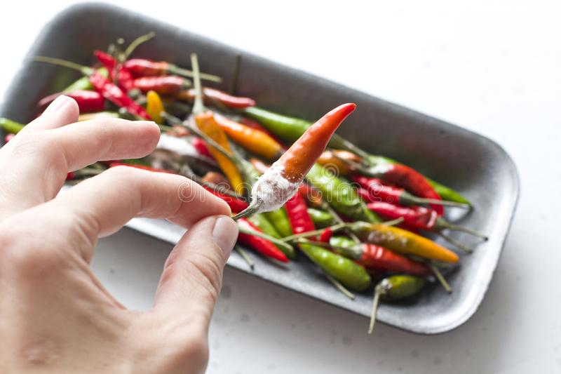 Белая прессформа на оранжевых перцах chili, на современном свете - серой предпосылке Избалованная еда, овощи Рука держит перец ch стоковая фотография