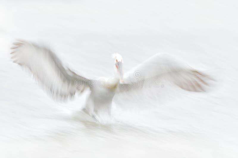 Белая птица, искусство в природе Далматинский пеликан, crispus Pelecanus, в озере Kerkini, Греция Пеликан с открытым крылом, охот стоковое изображение