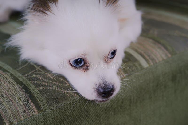 Белая пушистая собака лежа на кресле и очень осторожном смотреть к стороне стоковые фотографии rf