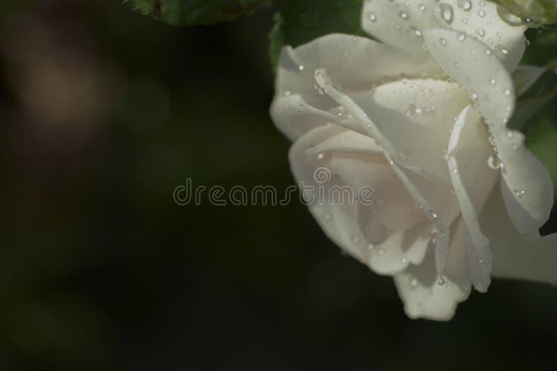 Белая роза в открытом саде Метафора для мягкости, сложности, элегантности стоковое фото rf
