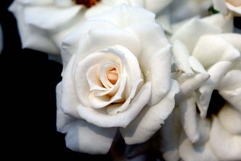 Белая роза крупного плана красивая свежая стоковое изображение