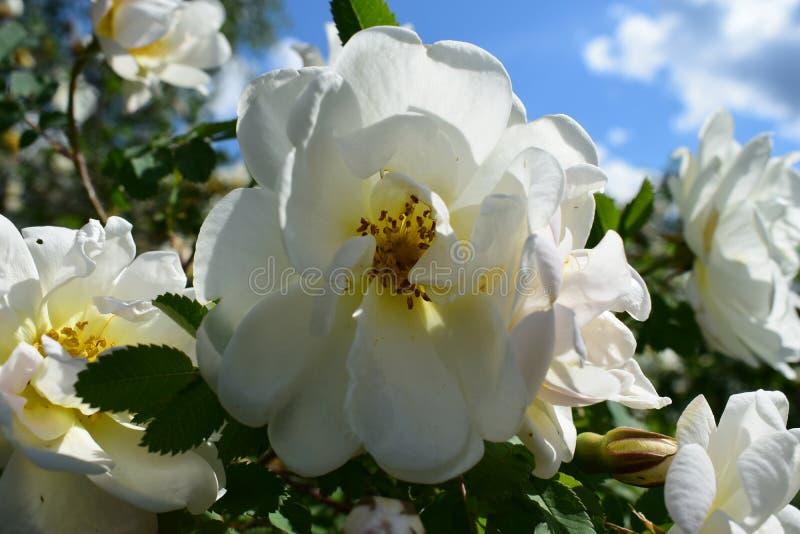 Белая роза растет в луге стоковые фотографии rf