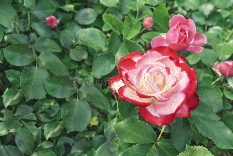 Белая роза с красной границей Зацветая белая роза с красной границей в саде города стоковые фото