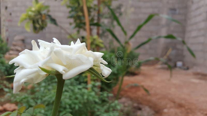 Белая роза с blured естественным bachkground стоковое фото