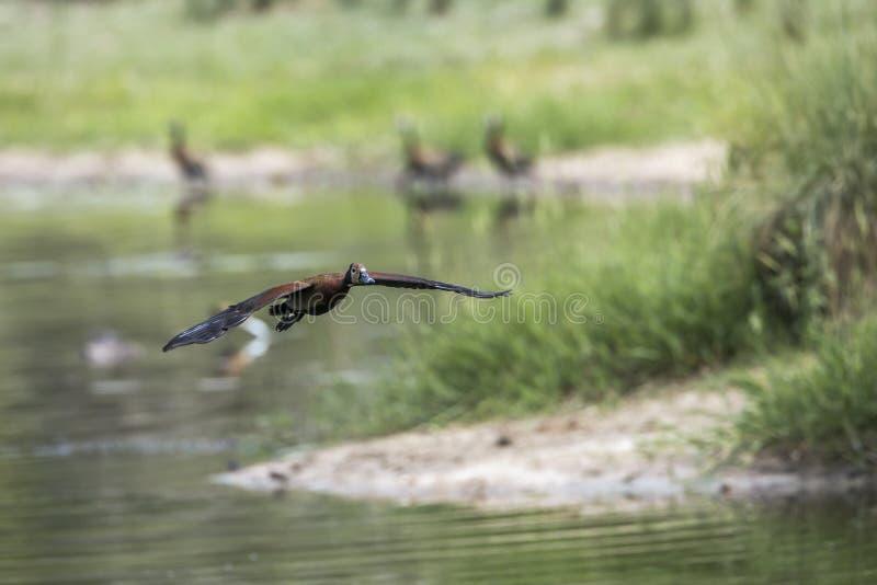 Белая смотреть на Свистеть-утка в национальном парке Kruger, Южной Африке стоковые изображения