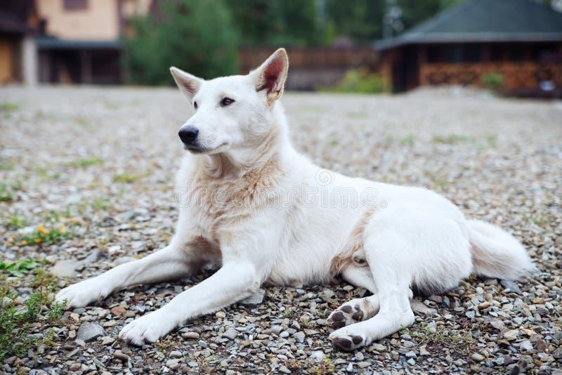 Белая собака лежа в дворе стоковая фотография rf