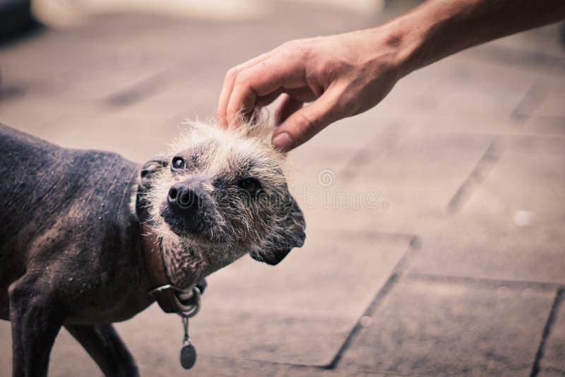 Белая с волосами мексиканская собака стоковое фото rf