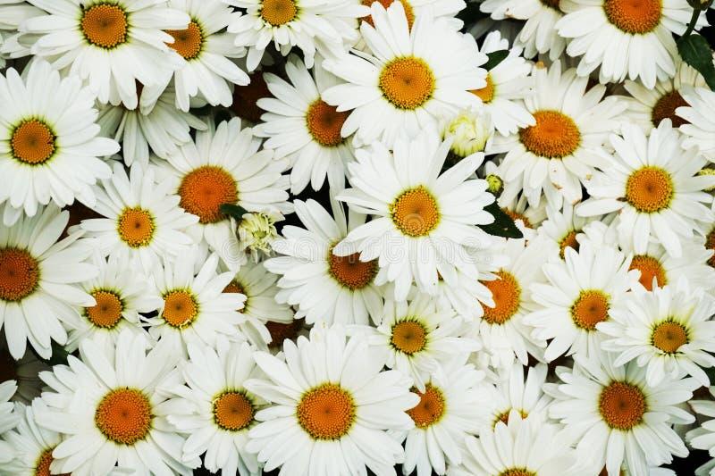 белая текстура маргаритки стоковые фотографии rf