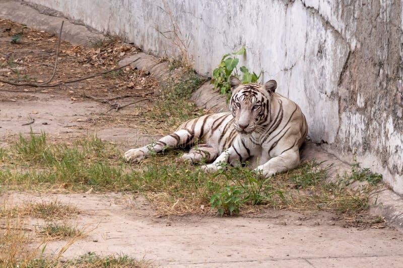 Белая установка тигра, отдыхая около стены стоковая фотография rf
