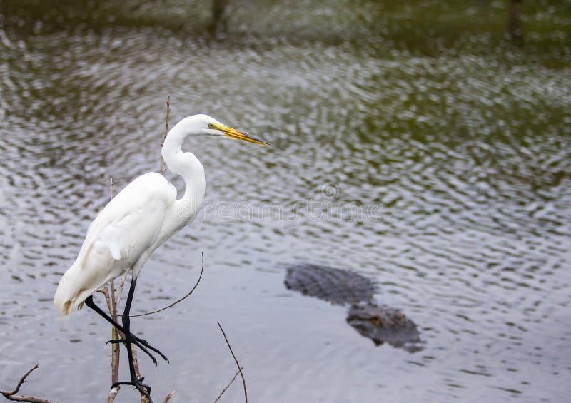 Белая цапля Флориды около воды рядом с аллигатором стоковое изображение rf