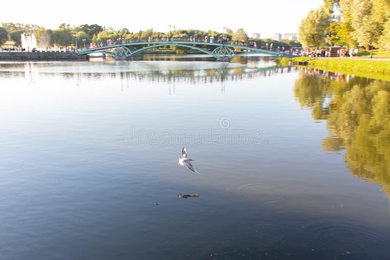 Белая чайка летает над водой Большой пруд с мостом, прогулка людей вдоль моста Фонтан на острове стоковые изображения rf