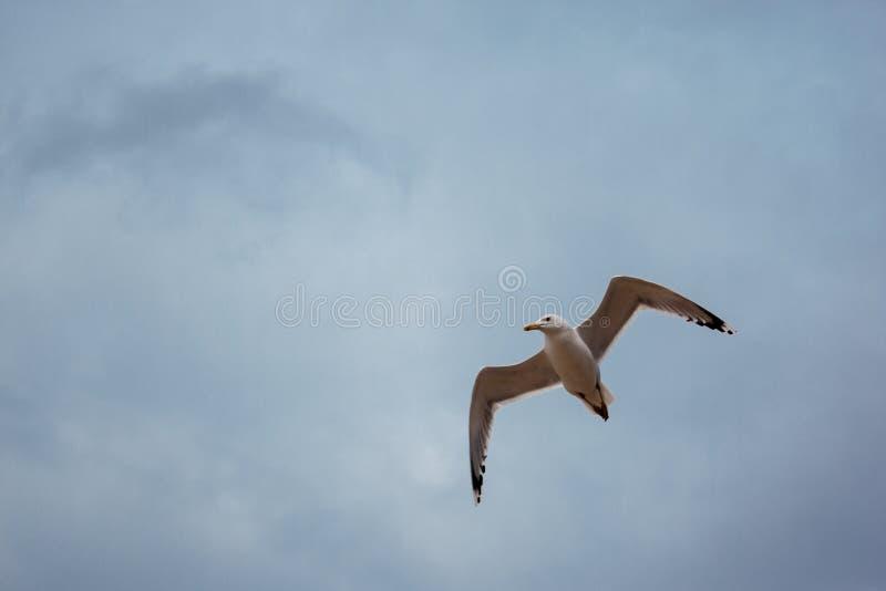 Белая чайка летает над морем в пасмурной ветреной погоде, волнах, ветре, облаках стоковые фото