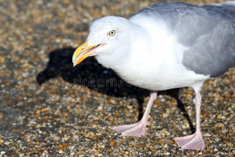 Белая чайка с открытым клювом стоковые изображения rf