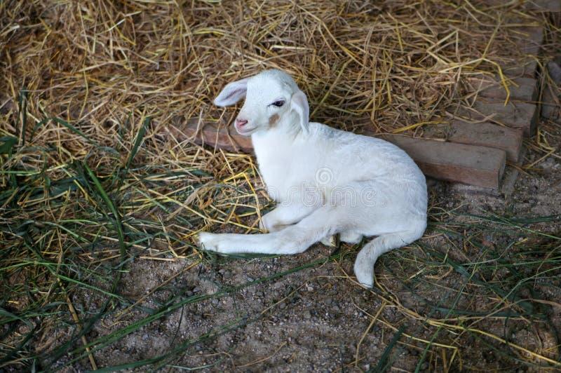Белая newborn овечка стоковое фото rf