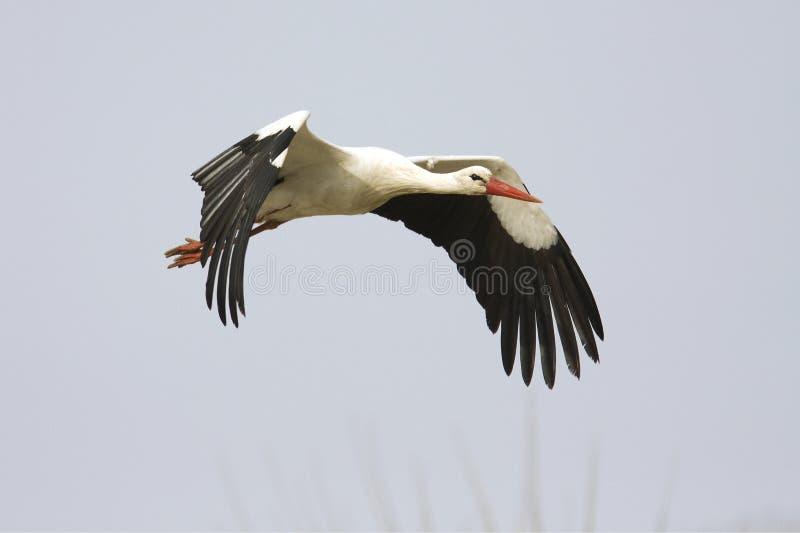 белизна аиста летания ciconia стоковая фотография