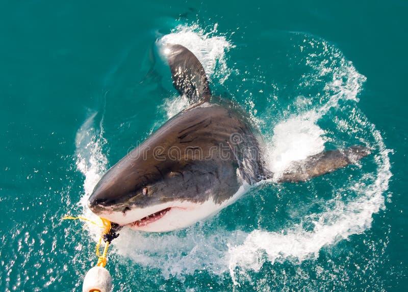 белизна акулы стоковое изображение