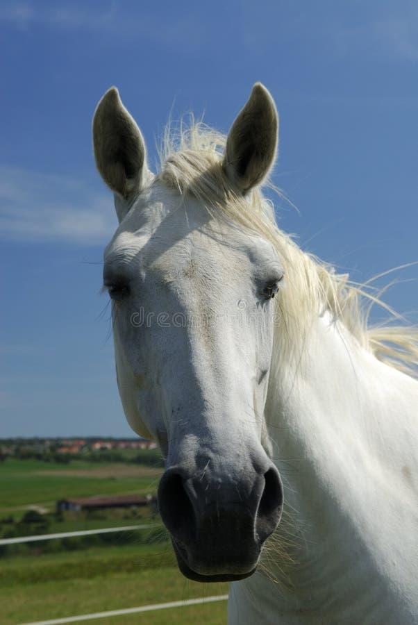 белизна аравийского портрета лошади необузданная стоковое фото rf