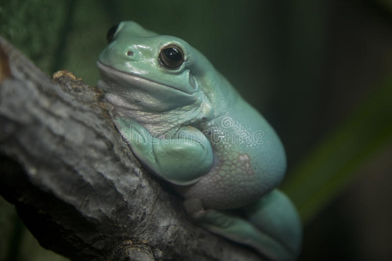 белизна вала litoria s лягушки caerulea стоковые изображения