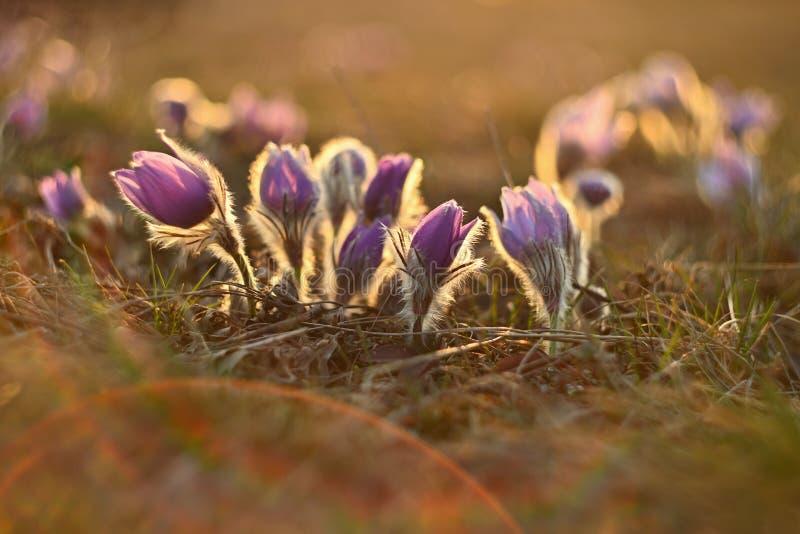 белизна весны пущи цветка Природа - луг и заход солнца Сезонная концепция на весеннее время Красиво blossoming цветок и солнце pa стоковые изображения rf