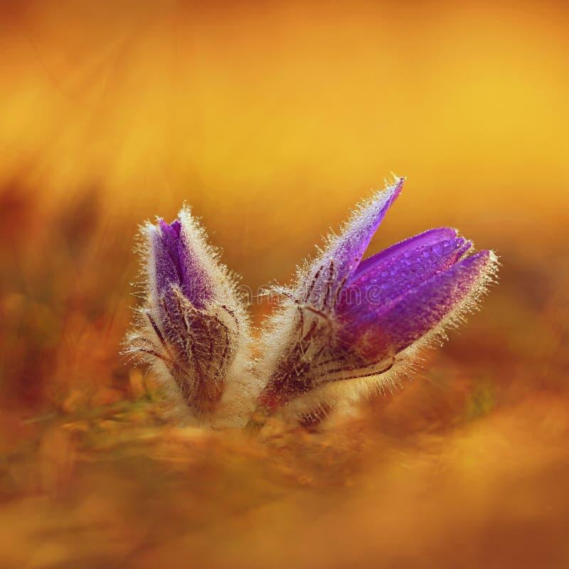 белизна весны пущи цветка Природа - луг и заход солнца Сезонная концепция на весеннее время Красиво blossoming цветок и солнце pa стоковое изображение